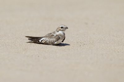 Sand-colored Nightjar