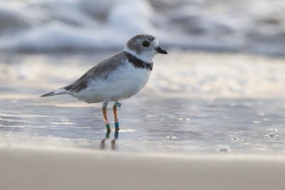 Snowy Plover - South Padre Island, Texas