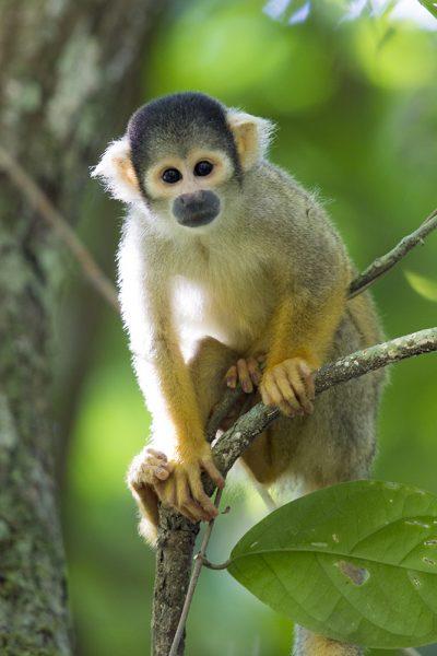 Squirrel Monkey3