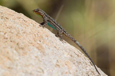 TBC Lizard