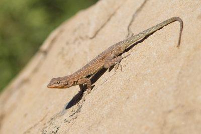 TBC Lizard - Capitol Reef National Park, Utah