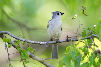 Tufted Titmouse1732