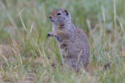 Uinta ground squirrel1