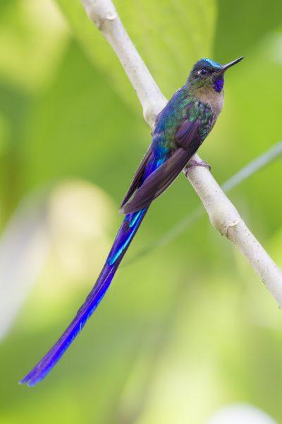 Violet-tailed Sylph (Male) - Tandayapa Lodge, Ecuador2
