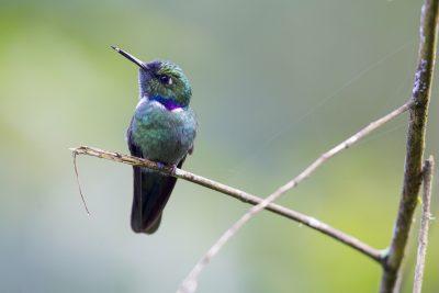 Wedge-billed Hummingbird - Paz De Aves (Ant Hill Pass), Ecuador.