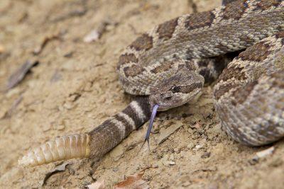 Western Rattlesnake (Close up)