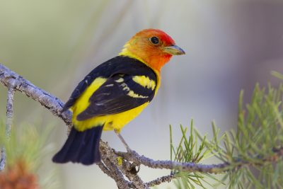 Western Tanager (Male) - Lassen Volcanic NP