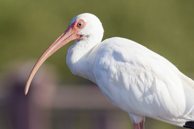 White Ibis (Profile)