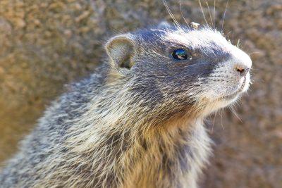 Yellow-bellied Marmot (Profile)
