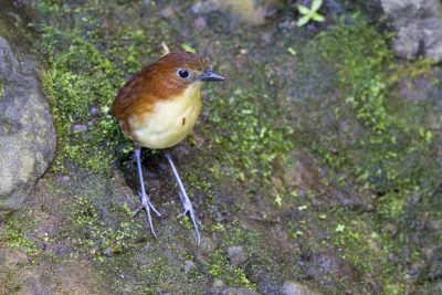 Yellow-breasted Antpitta - Paz De Aves (Ant Hill Pass), Ecuador