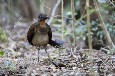 Alberts Lyrebird (Menura alberti)