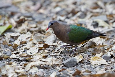 Asian Emerald Dove (Chalcophaps indica)