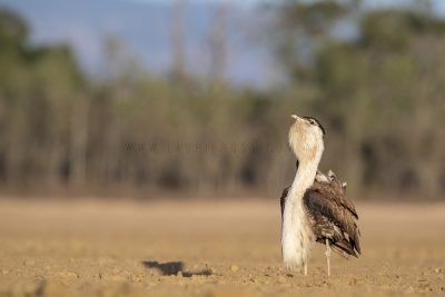 Australian Bustard - Male Displaying (Ardeotis australis).3
