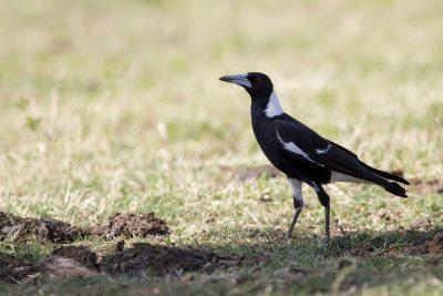 Australian Magpie (Cracticus tibicen eylandtensis) - Alice Springs, NT