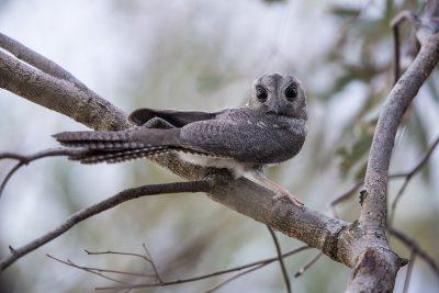 Australian Owlet Nightjar (Aegotheles cristatus)