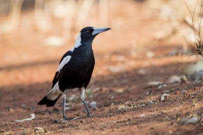 Australian (Top End) Magpie (Gymnorhina tibicen)