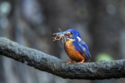 Azure Kingfisher - With Crab (Ceyx azureus ruficollaris).1