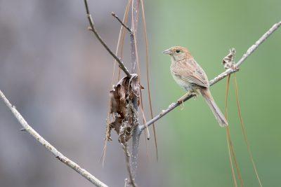 Bachman's Sparrow (Peucaea aestivalis)