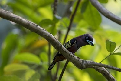 Banded Broadbill - Male calling
