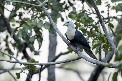 Banded Fruit-dove (Ptilinopus cinctus alligator).