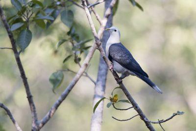 Banded Fruit-dove (Ptilinopus cinctus alligator)11