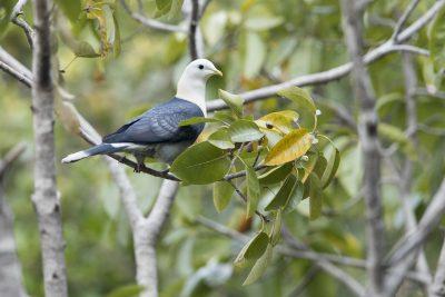 Banded Fruit-dove (Ptilinopus cinctus alligator)2