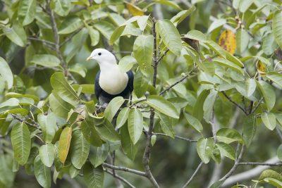 Banded Fruit-dove (Ptilinopus cinctus alligator)3