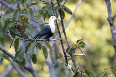 Banded Fruit-dove (Ptilinopus cinctus alligator)4
