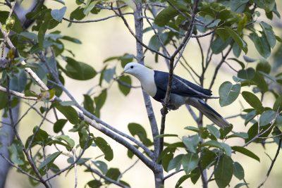 Banded Fruit-dove (Ptilinopus cinctus alligator)8