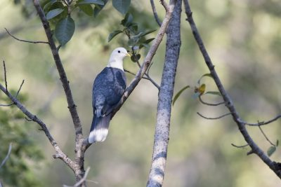 Banded Fruit-dove (Ptilinopus cinctus alligator)9