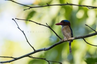 Banded Kingfisher (3)