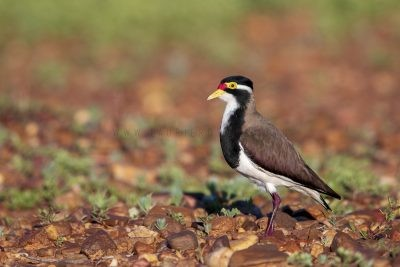 Banded Lapwing (Vanellus tricolor).1