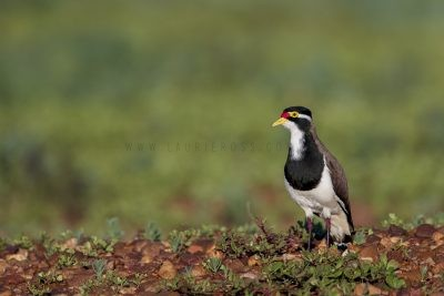 Banded Lapwing (Vanellus tricolor).3