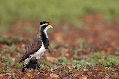 Banded Lapwing (Vanellus tricolor).4