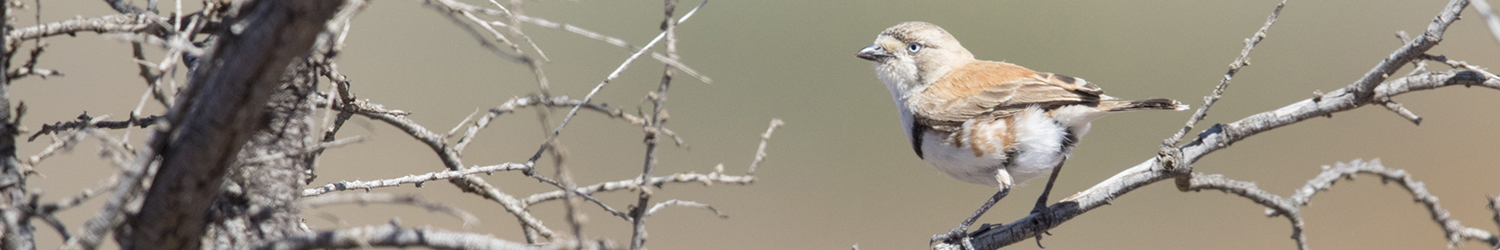 banded-whiteface-alice-springs-nt