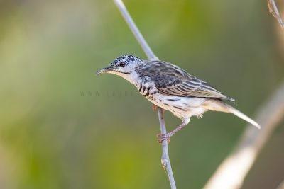 Bar-breasted Honeyeater (Ramsayornis fasciatus).