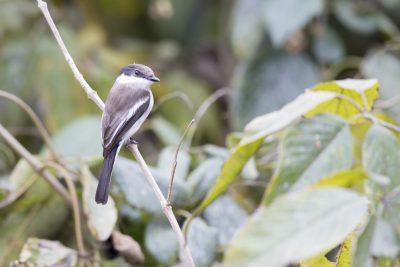 Bar-winged Flycatcher-shrike (Hemipus picatus)