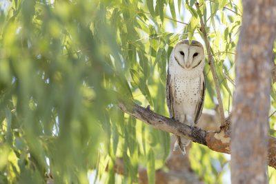 Barn Owl (Tyto alba delicatula) - TImber Creek, NT