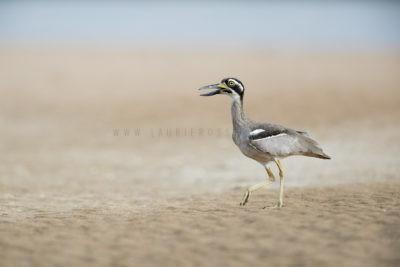 Beach-stone Curlew (Esacus giganteus)