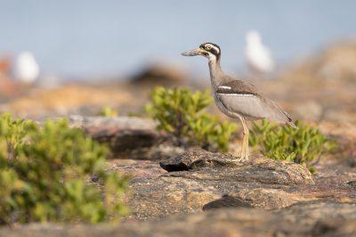 Beach Stone-curlew (Esacus giganteus) - Nightcliff, NT