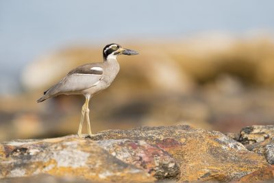 Thick-knees, Bustards and Cranes
