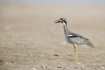 Beach-stone Curlew (Esacus giganteus)1