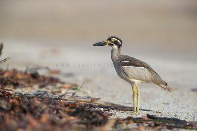 Beach Stone-curlew (Esacus giganteus),3