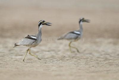 Beach-stone Curlew - Pair (Esacus giganteus)