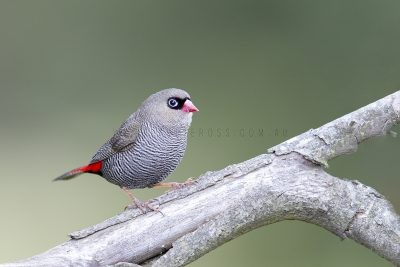 Beautiful Firetail.2