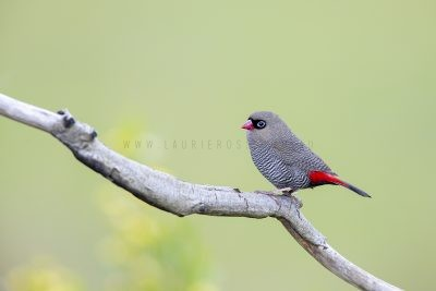 Beautiful Firetail.3
