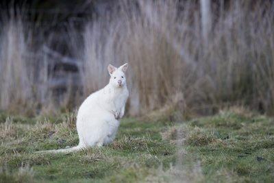 Bennetts Wallaby - Albino