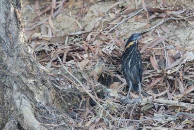 Black Bittern - Male (Ixobrychus flavicollis)