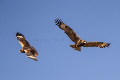 Black-breasted Buzzard - Pair in Flight (Hamirostra melanosternon)