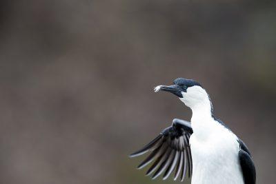 Boobies and Gannets, Darters, Frigatebirds, Cormorants and Shags